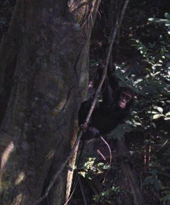 Google the chimpanzee climbing a tree